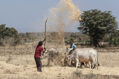 Amene Ahmed working with his cattle in Ethiopia. Photo: Johannes Odé