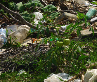 Tomatoes and squash growing amidst the garbage on abandoned land in Cuba. Photo: Tessa Dudley