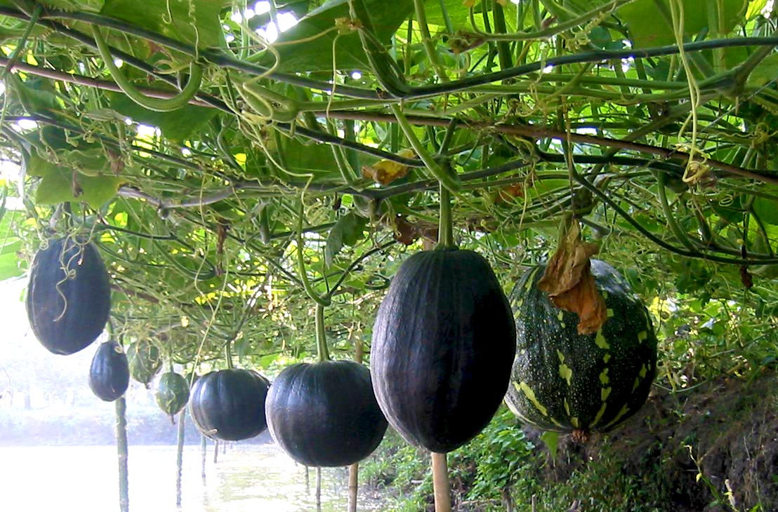 Sweet gourds are a good source of nutrition and income for farmers in Bangladesh. Photo: UBINIG