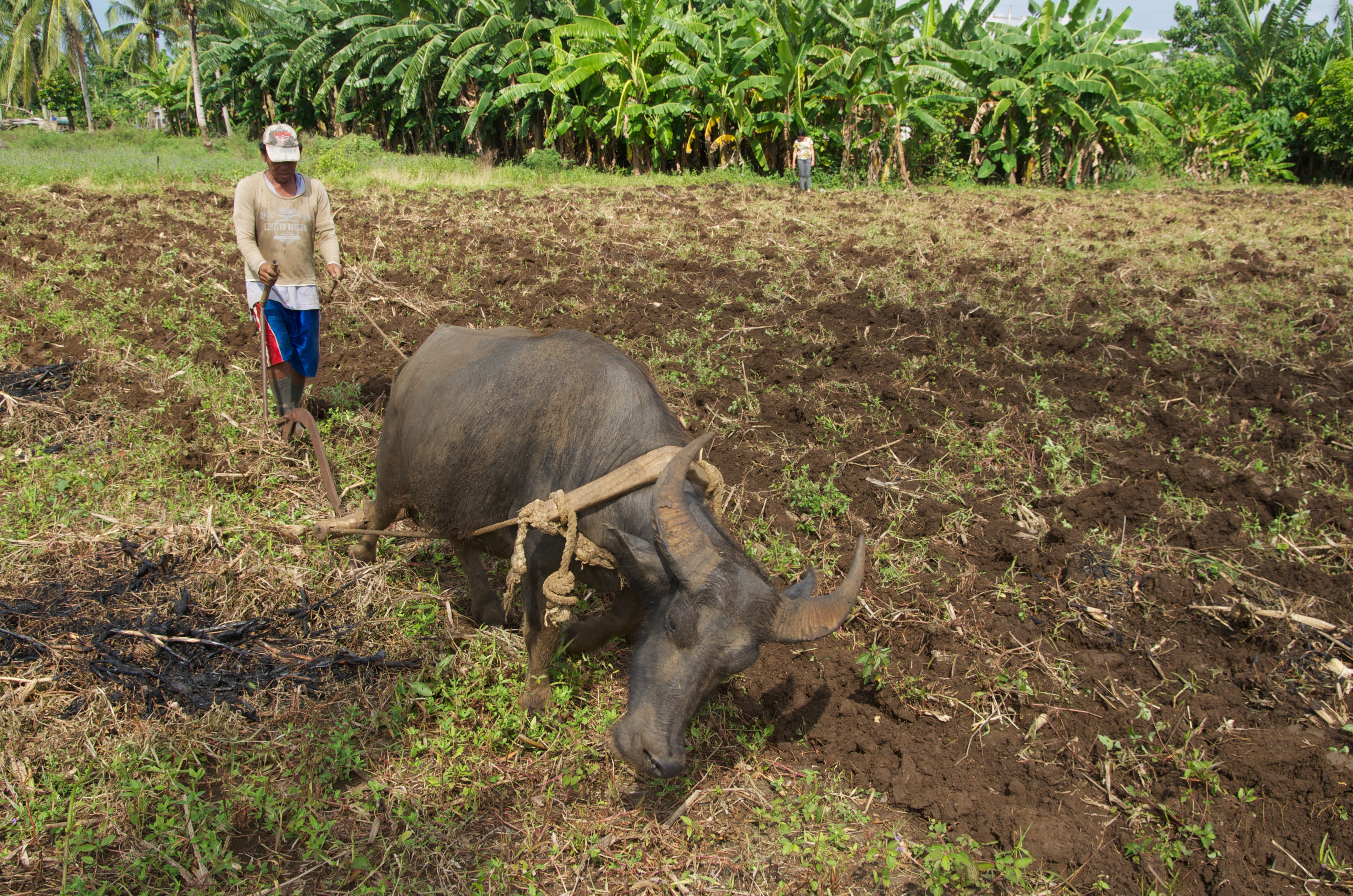 Rumio Cena will take a week to plow this field once.  It must be plowed three times before the corn is planted.  Photo: Simon Chambers