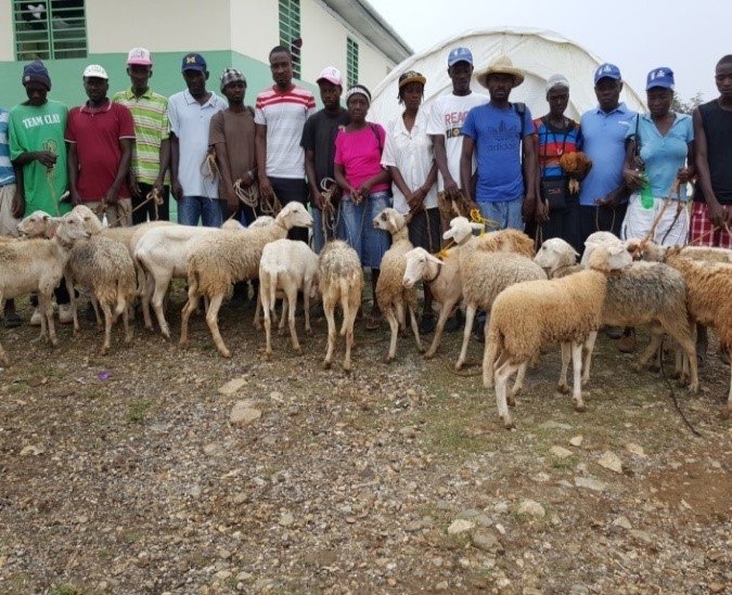 Sheep are distributed to restore livestock and livelihoods.
